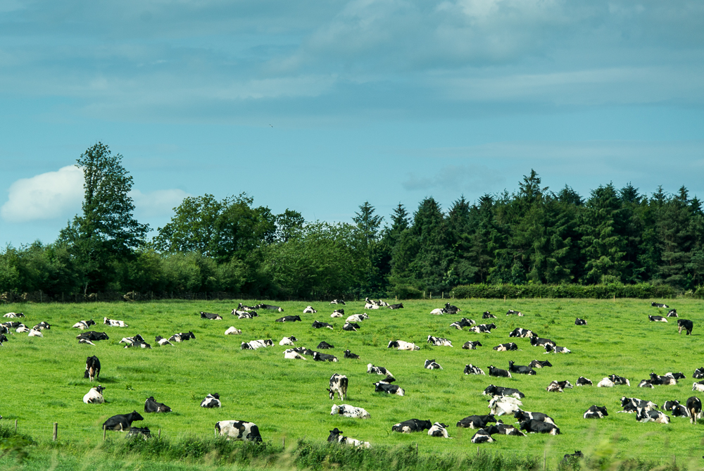 cows-7897.jpg