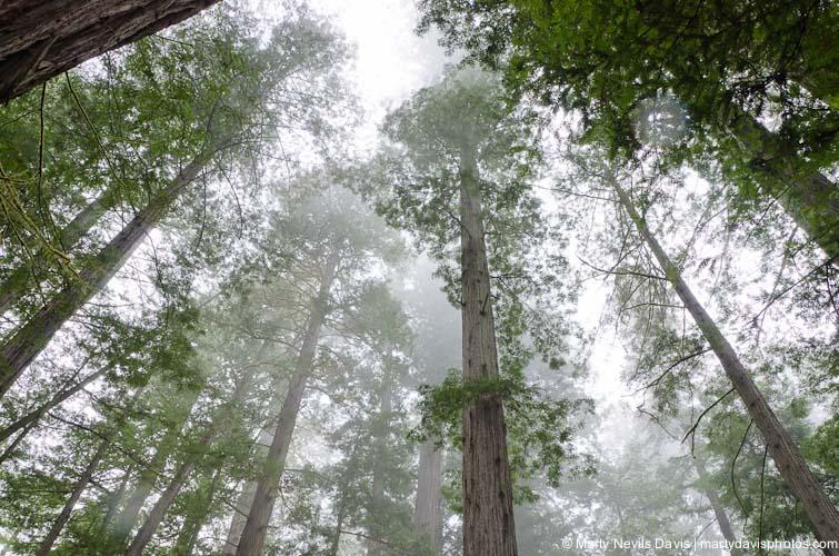 redwoods-5392.jpg