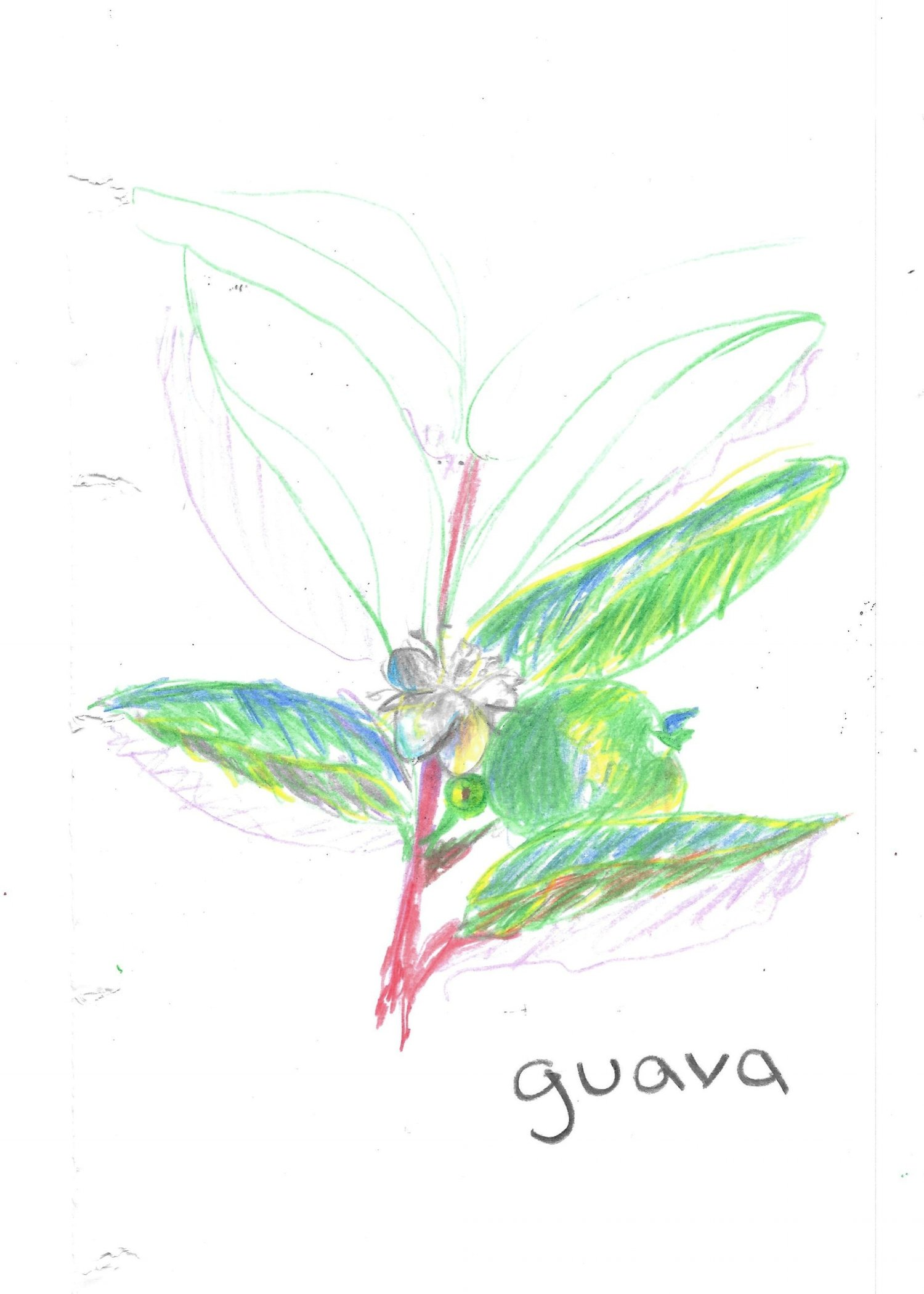 Guava Drawing Images