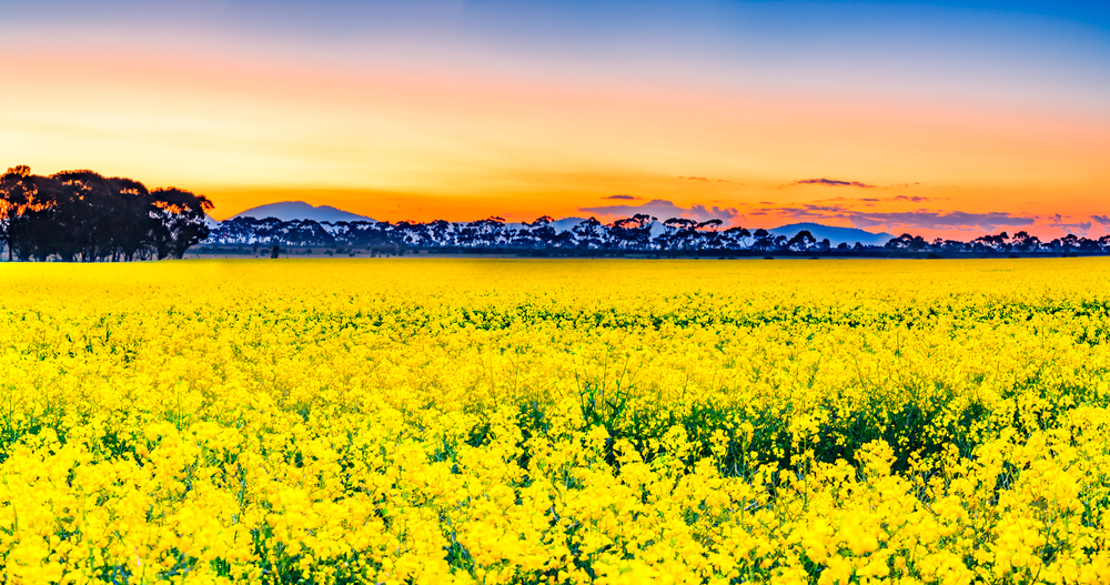 Sunset canola field with the You Yangs in the background
