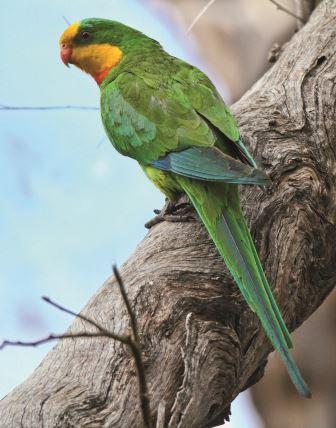 Superb Parrot - Credit: Geoffrey Dabb