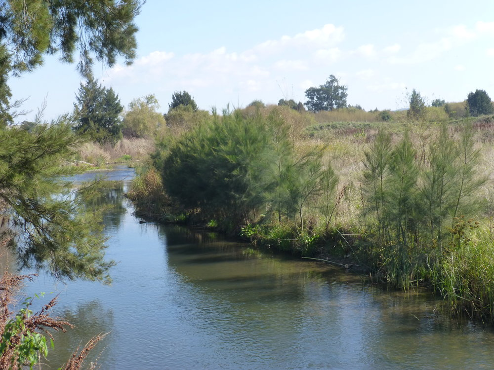 Regenerating River Sheoaks ( Casuarina cunninghamiana)  following removal of willows.