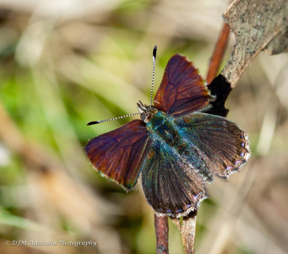 Bathurst Copper Butterfly (image courtesy of DJM Australia Photography)