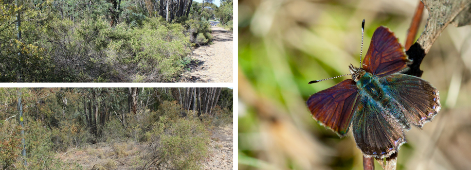 Our Projects: Enhancing Purple Copper Butterfly Habitat