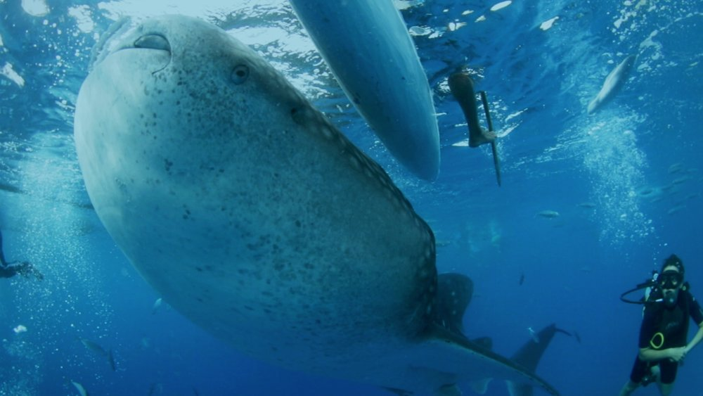 On the Brink: Uncharted Waters - Marine conservationists argue that whale sharks are being conditioned to follow boats in Oslob, Cebu, putting them in danger from propeller strikes and poachers.