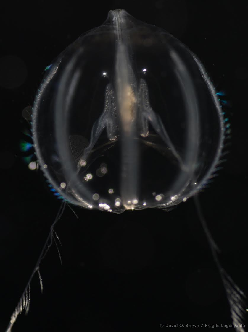 Fragile Legacy - Pleurobrachia bachei, one of many of the tiny sea creatures modeled in glass.