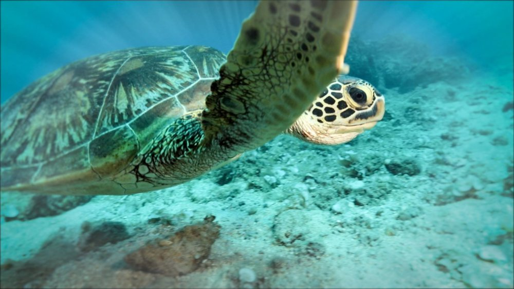 My Haggan Dream - A green sea turtle swims in the Northern Mariana Islands. Photo by Stephani Gordon