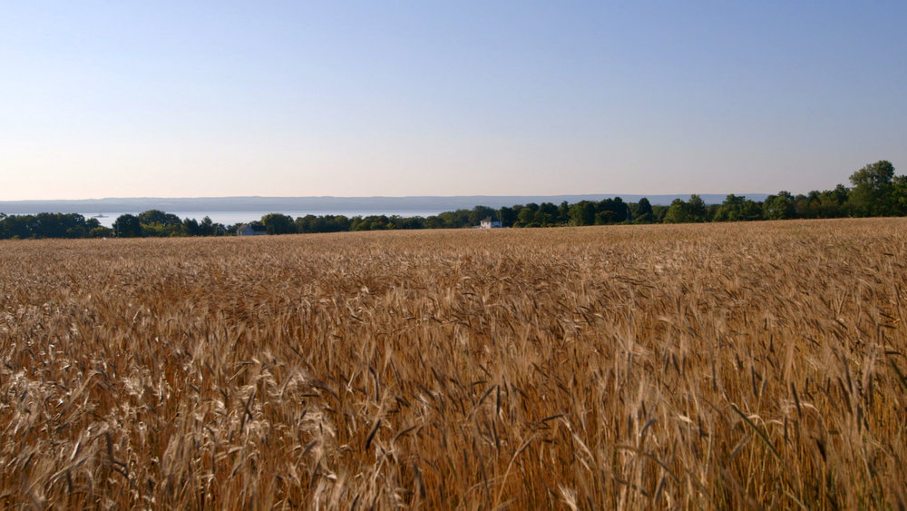 Sustainable - Einkorn wheat - one of the first grains cultivated by man - ready for harvest on Klaas Martens's farm in Penn Yan, NY.