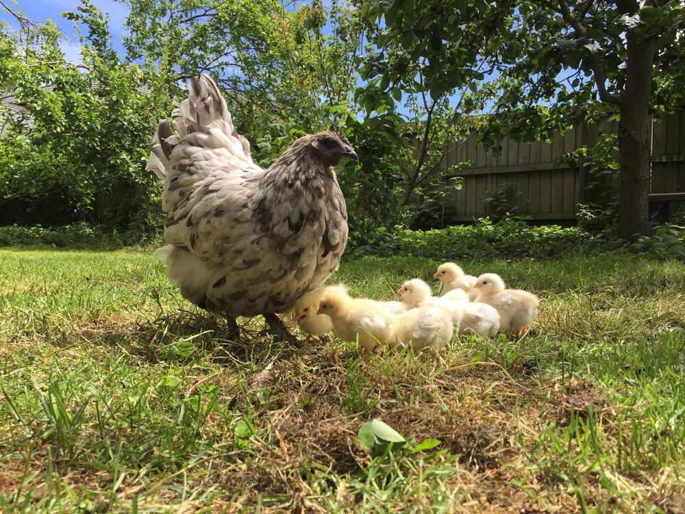 Pecking Order - Marina Steinke's back yard in Christchurch.