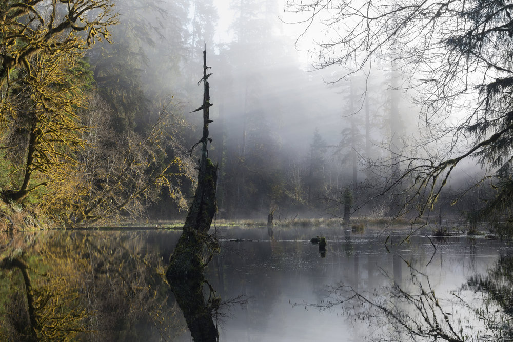 Early morning view of a still pond in the Hoh Rainforest. Photo: Palmer Morse