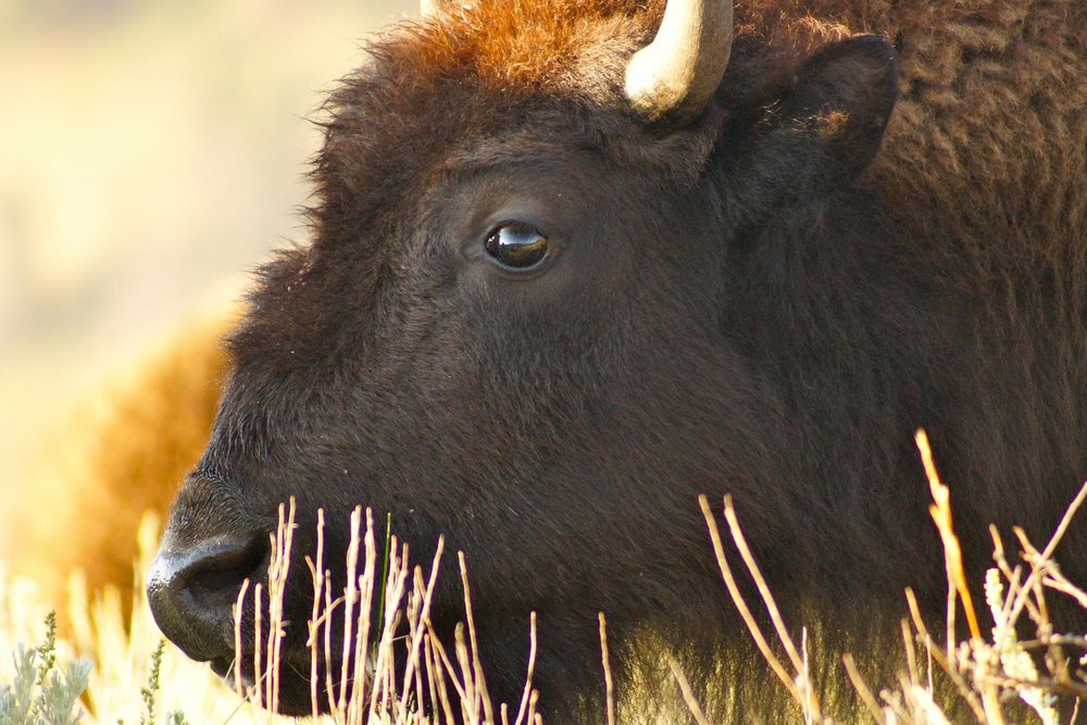 Bison Nation - Walking Sacred Sites
