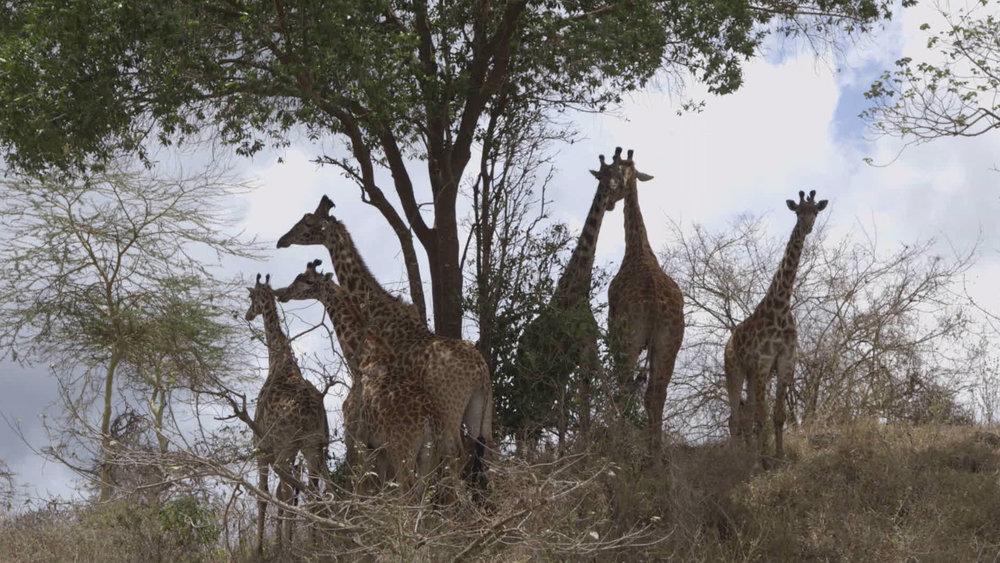 Giraffes near former WW2 Polish refugee camp in Tengeru, Tanzania