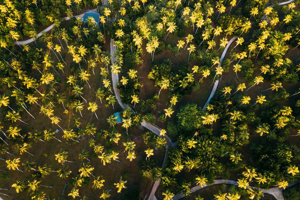 Palm Trees DJI_0635.jpg