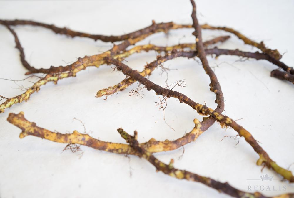 Lic Root.jpg