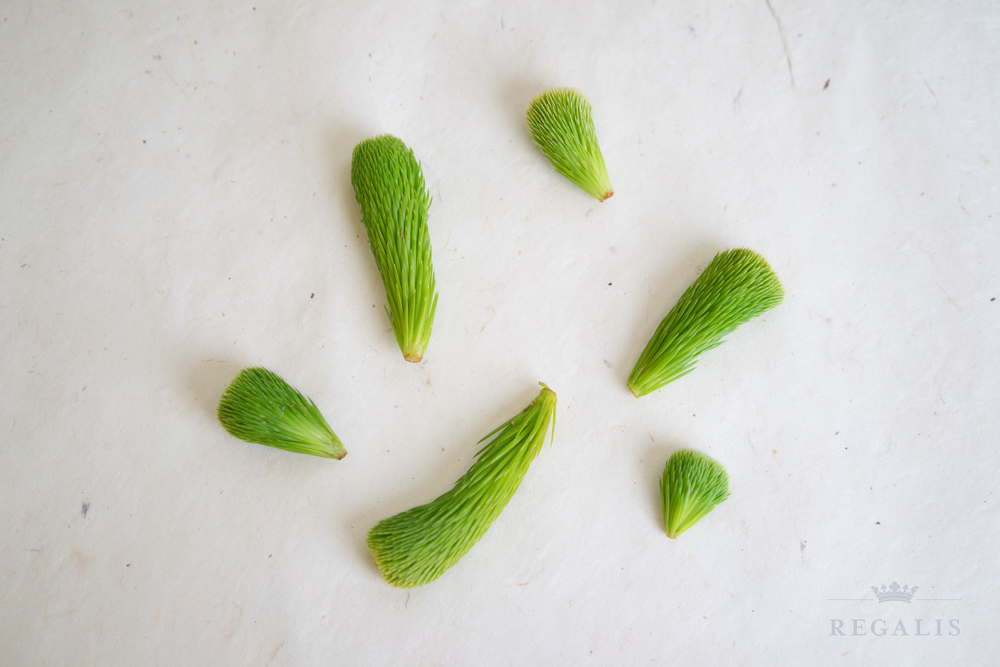 Spruce Buds.jpg