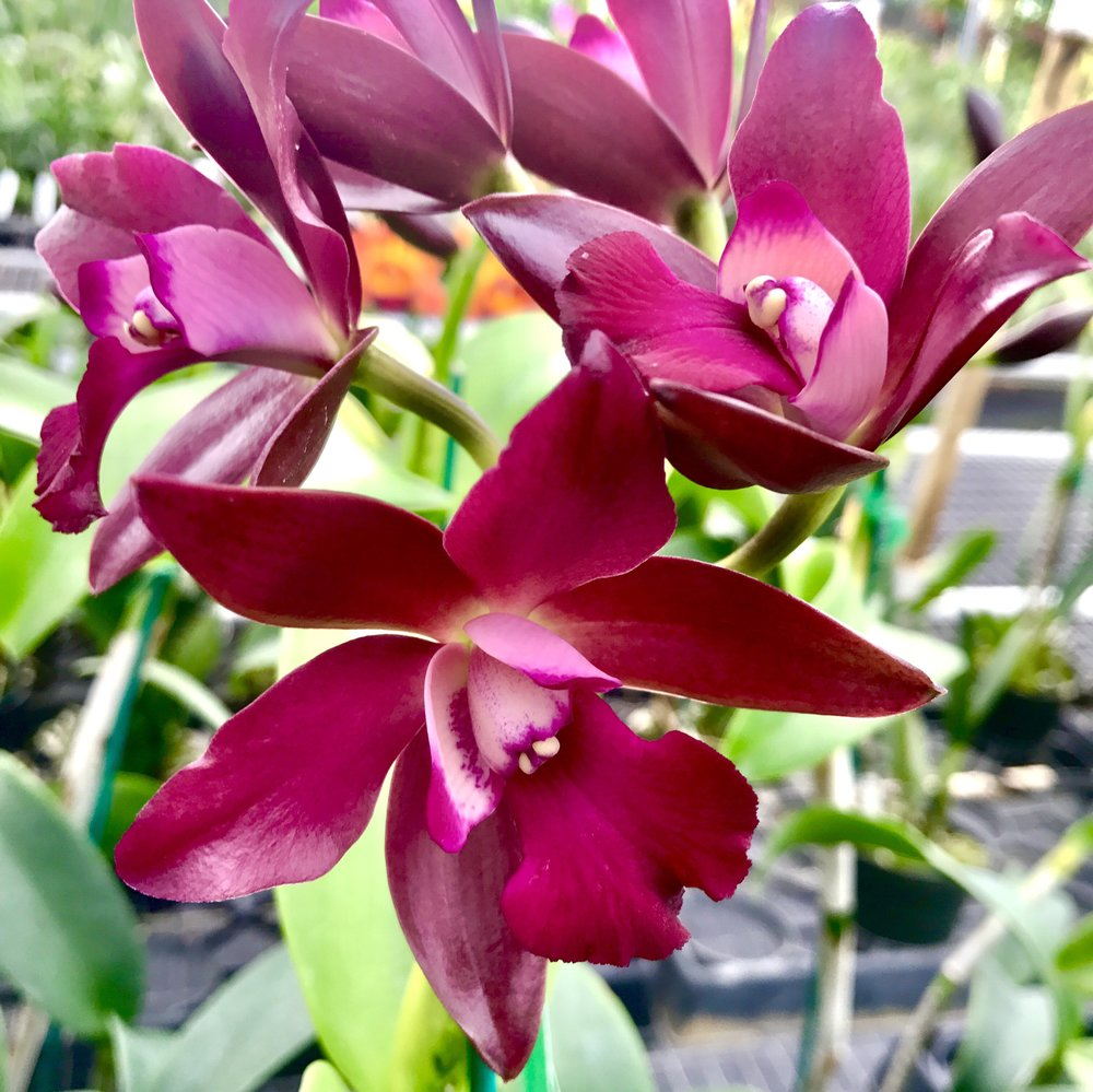 Cattlianthe Sagarik Wax
