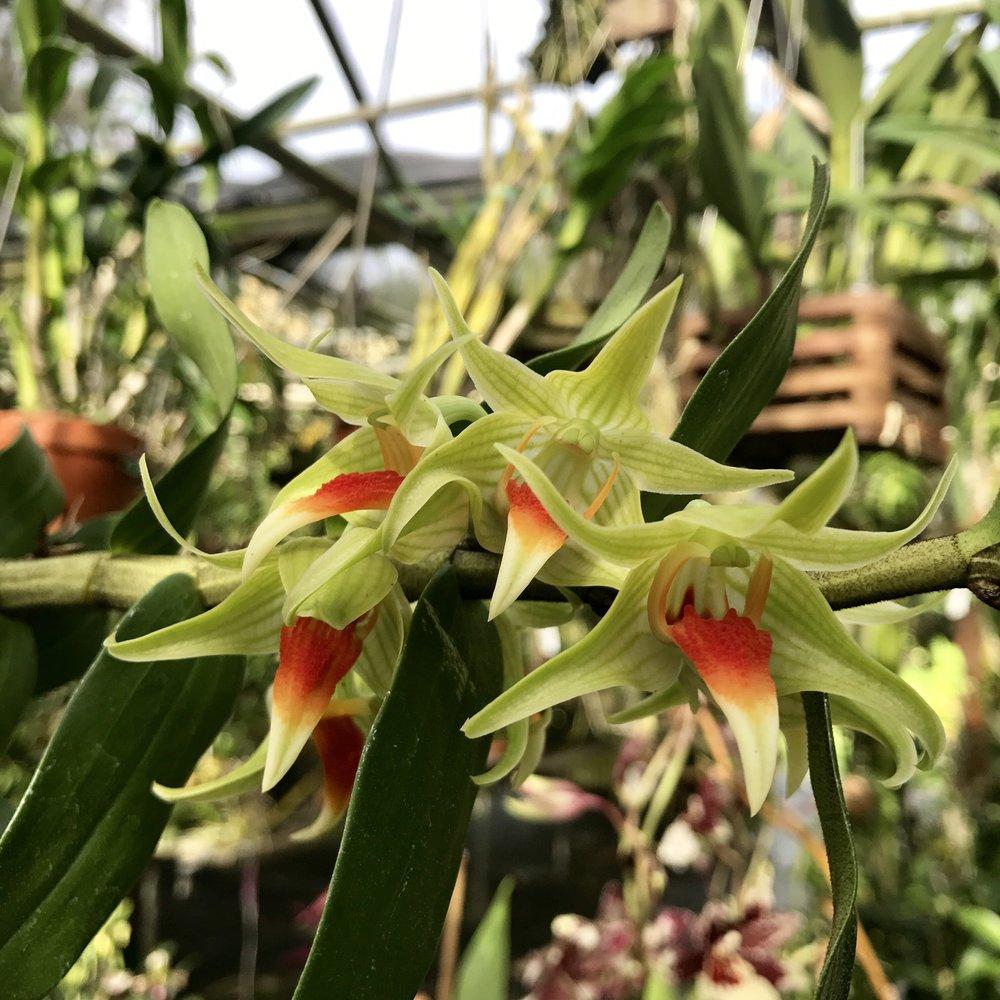 dendrobium peng seng orchid.jpg