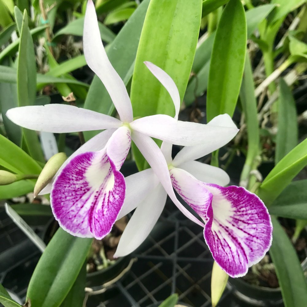 brassavola nodosa susan fuchs cattleya hsinying pub albo sanguinea orchid.jpg