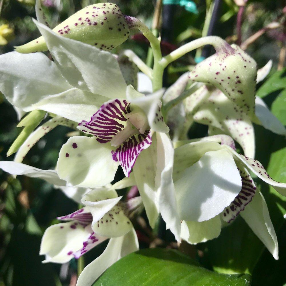 Dendrobium Royal Wings.jpg