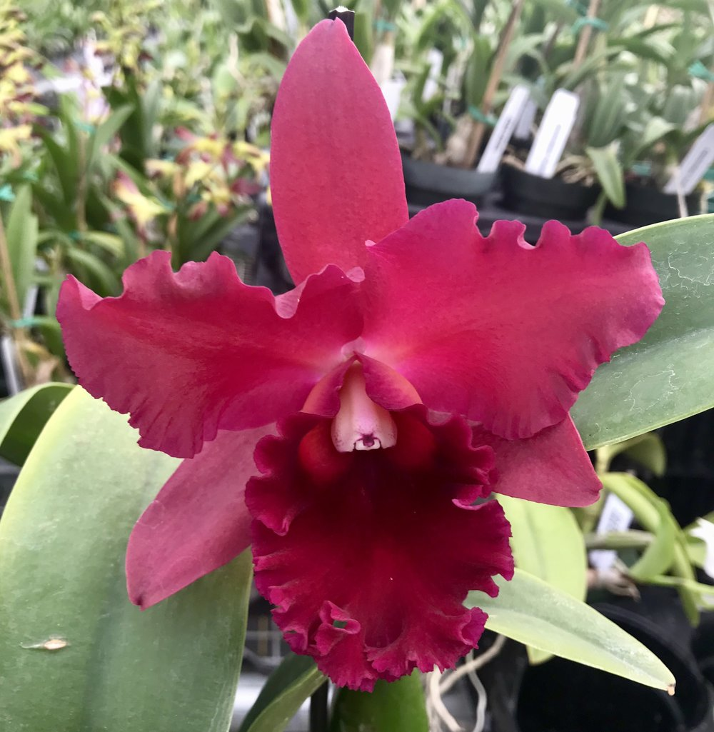 red cattleya orchid.jpg
