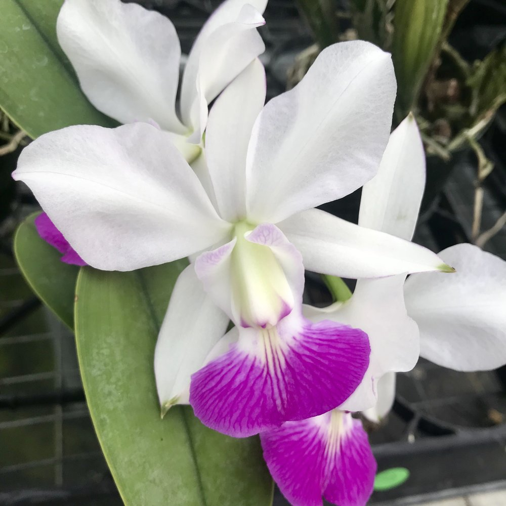 cattleya walkeriana orchid species.jpg