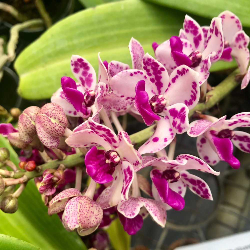Rhy gigantea pink and white.JPG