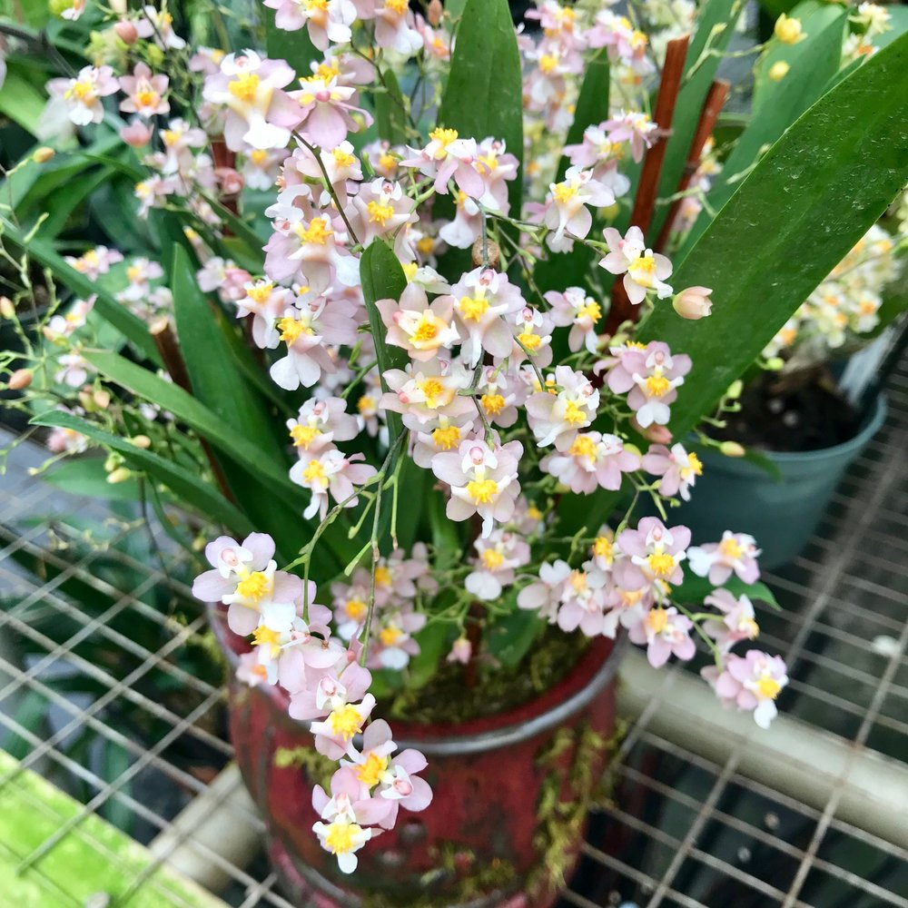 Oncidium Twinkle orchid arrangment