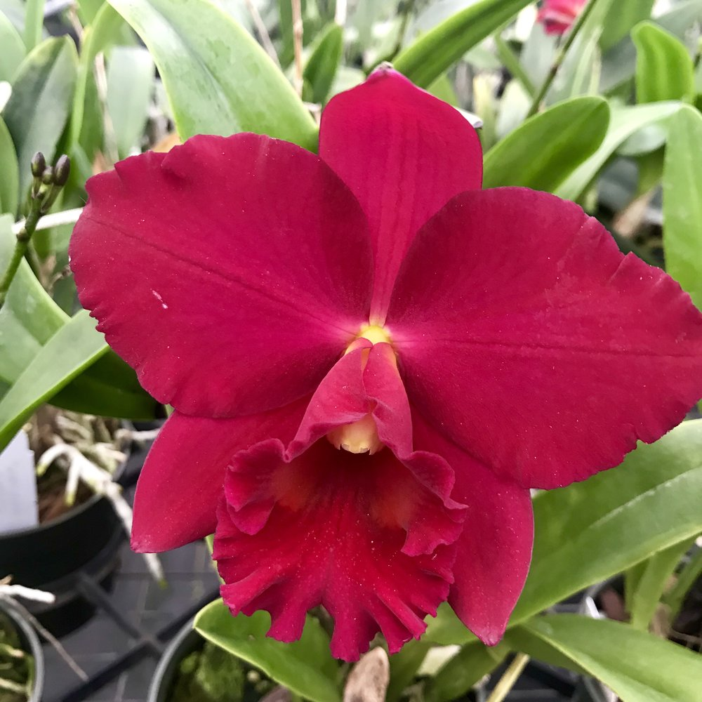 red cattleya orchid.jpg