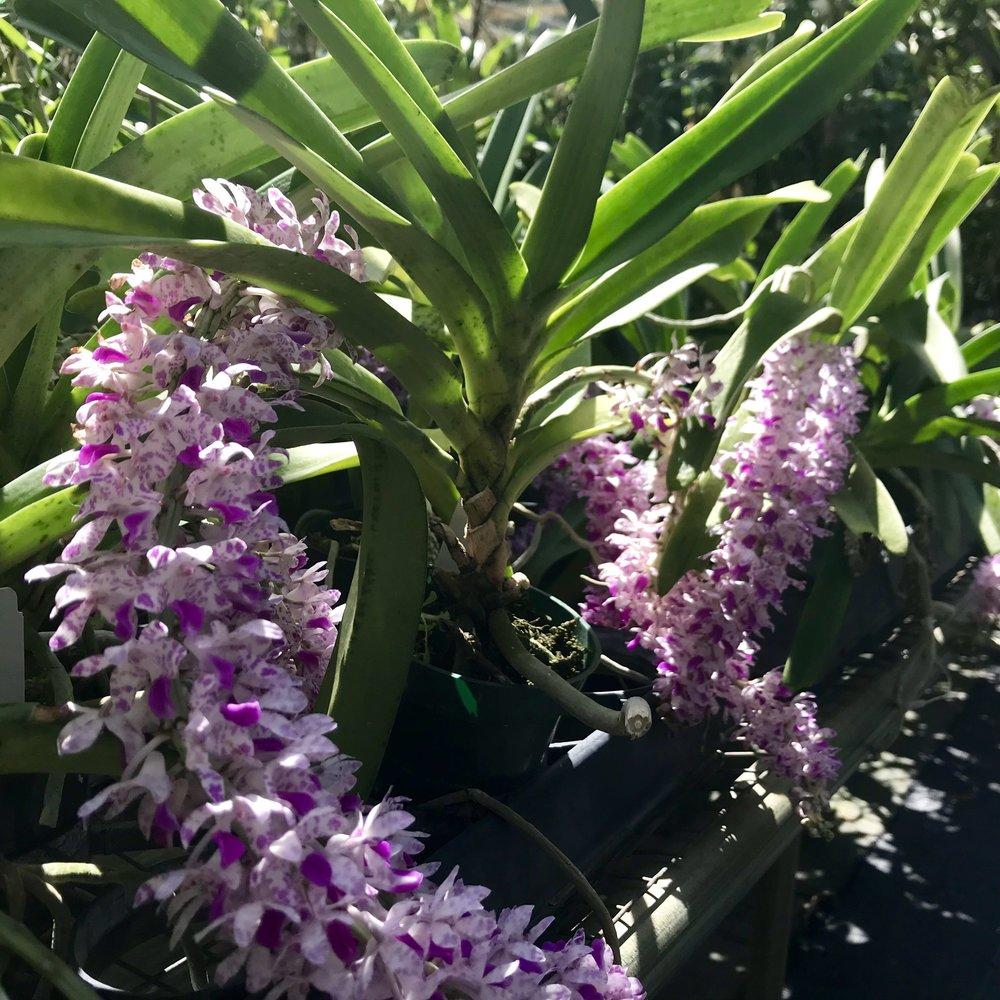 Rhynchostylis retusa vandaceous orchid species Palmer Orchids