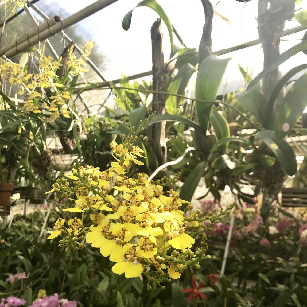 Oncidium ampliatum Rossioglossum ampliatum orchid species Palmer Orchids