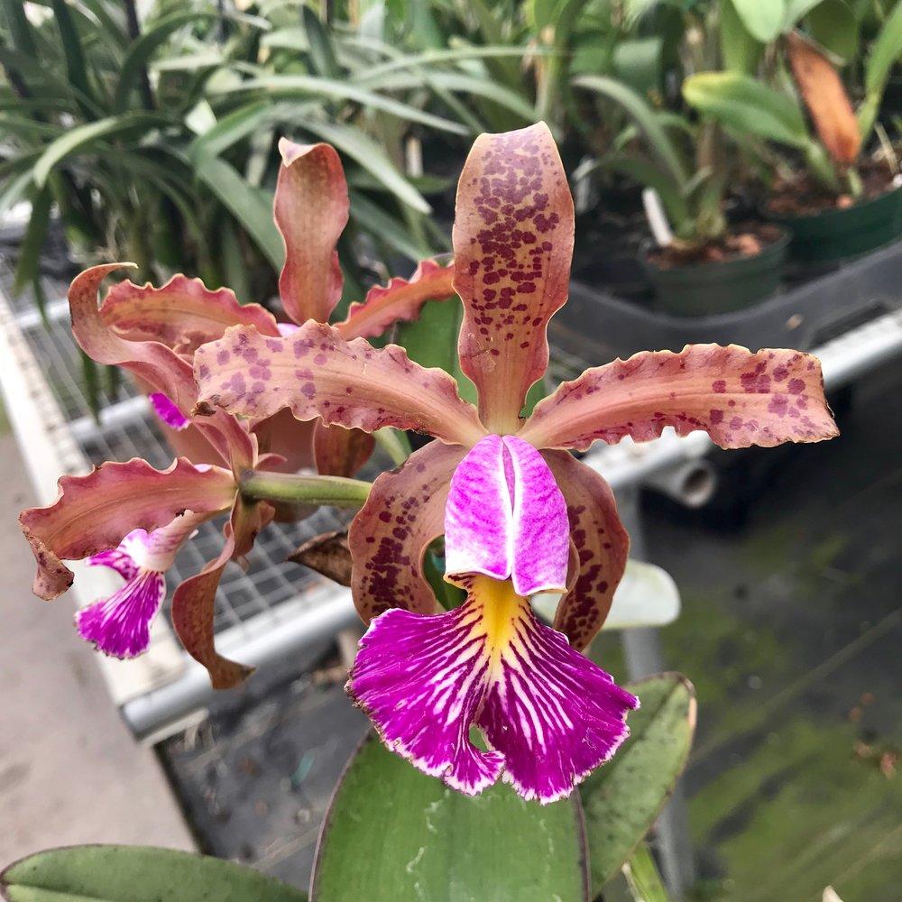 Cattleya schilleriana orchid species palmer orchids