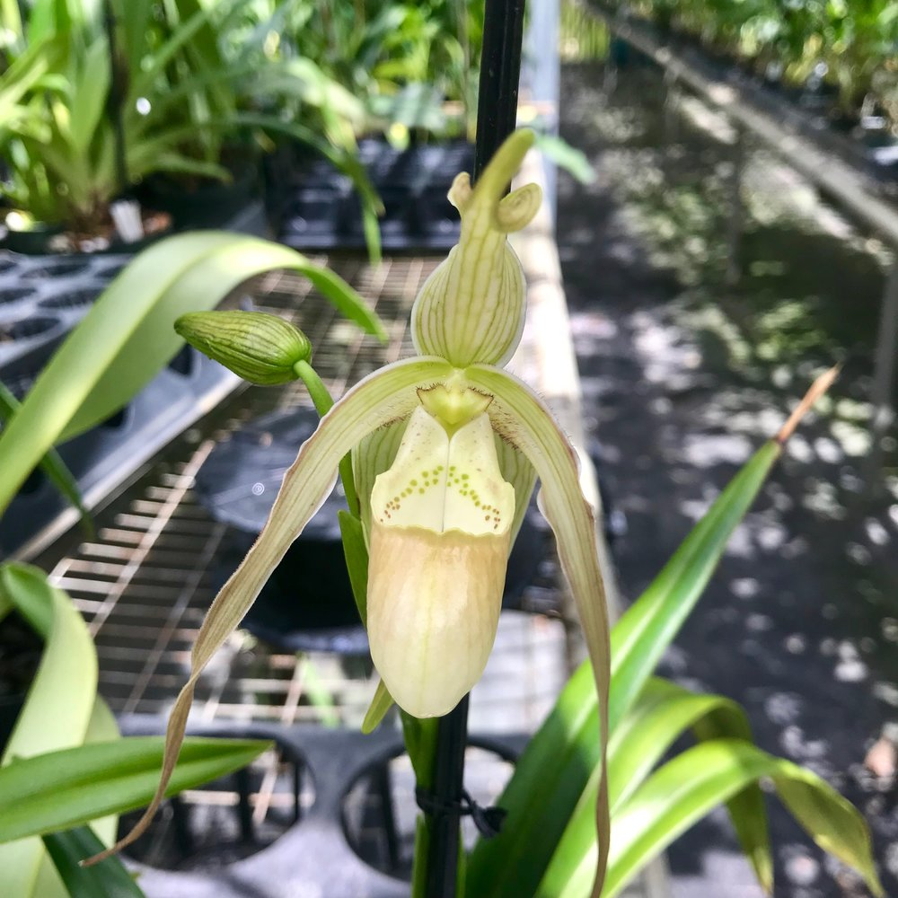 Phragmipedium Paul Eugene Conroy Lady Slipper Orchid Palmer Orchids