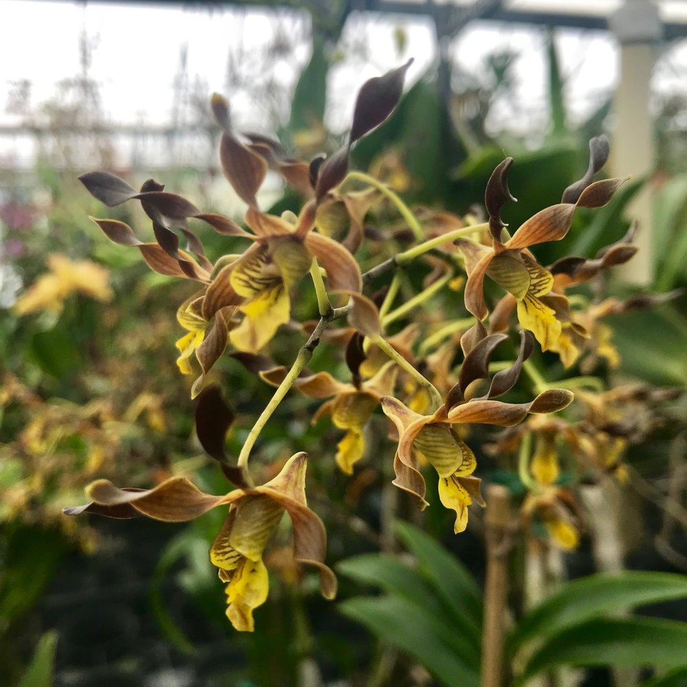 Dendrobium Touch of Gold Palmer Orchids