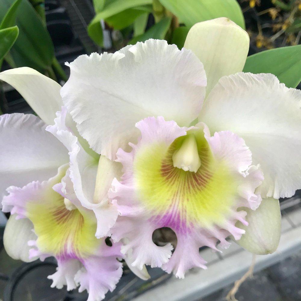 Rlc Mary Alice Underwood Cattleya Palmer Orchids