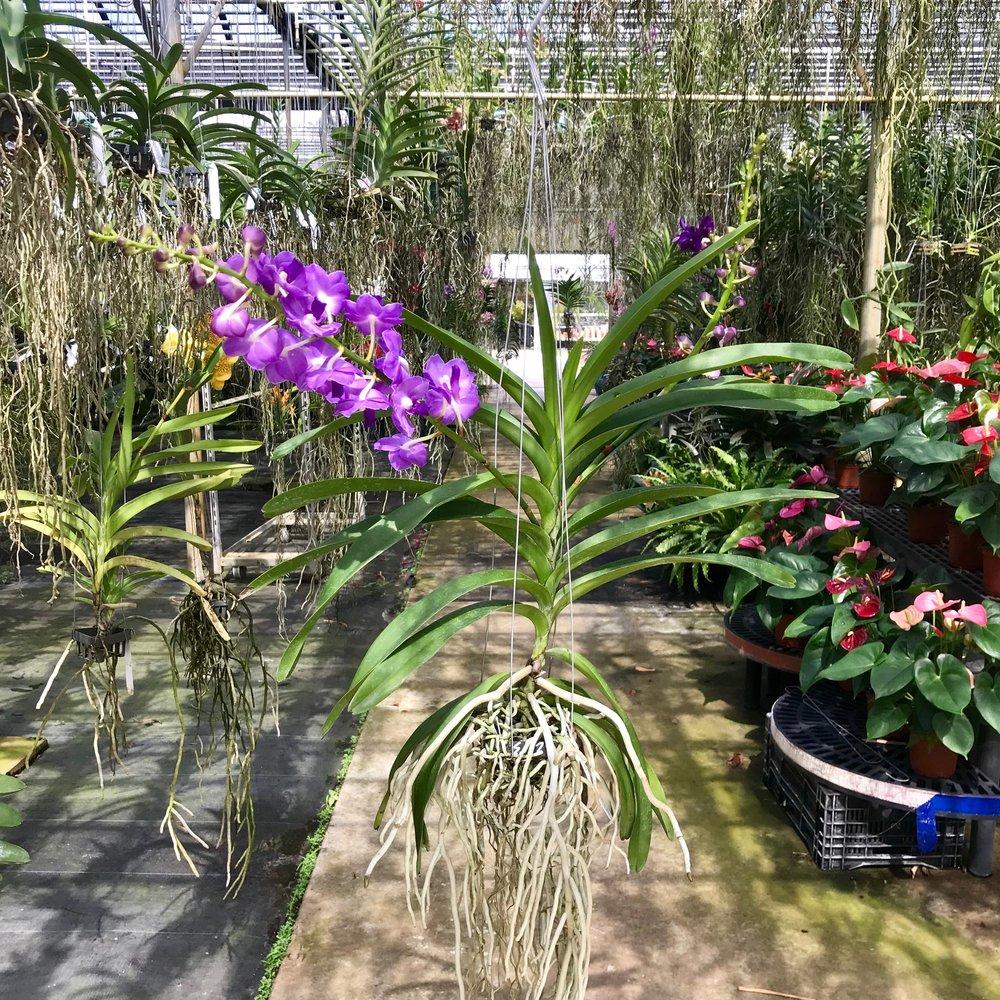Perreiraara LeBeau Blue (Aerides lawrenceae x Vandachostylis Sasicha) Vanda Palmer Orchids