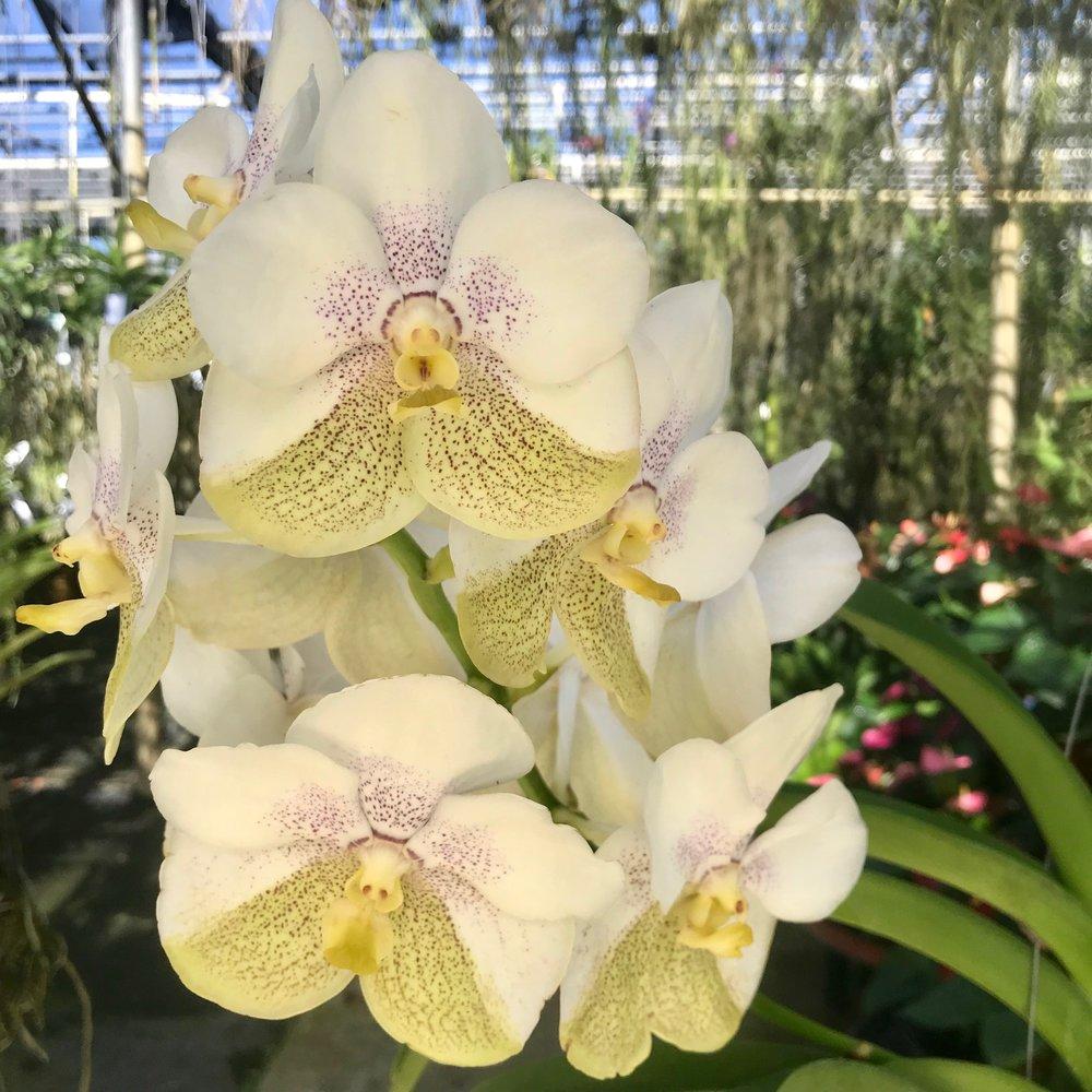 Vanda Nakornsawan Belle x Vanda Tubtim Velvet Palmer Orchids