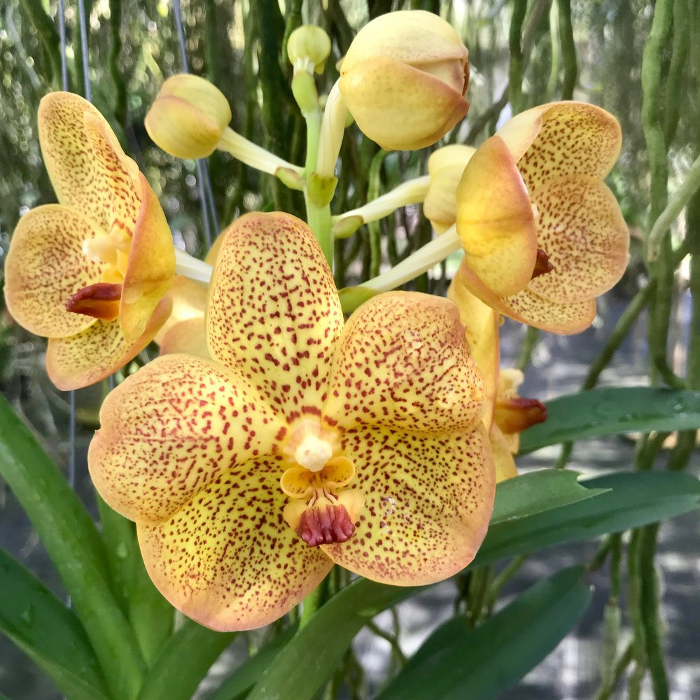 Vanda Betty May Steel Orange Yellow Spotted Ascocenda Palmer Orchids