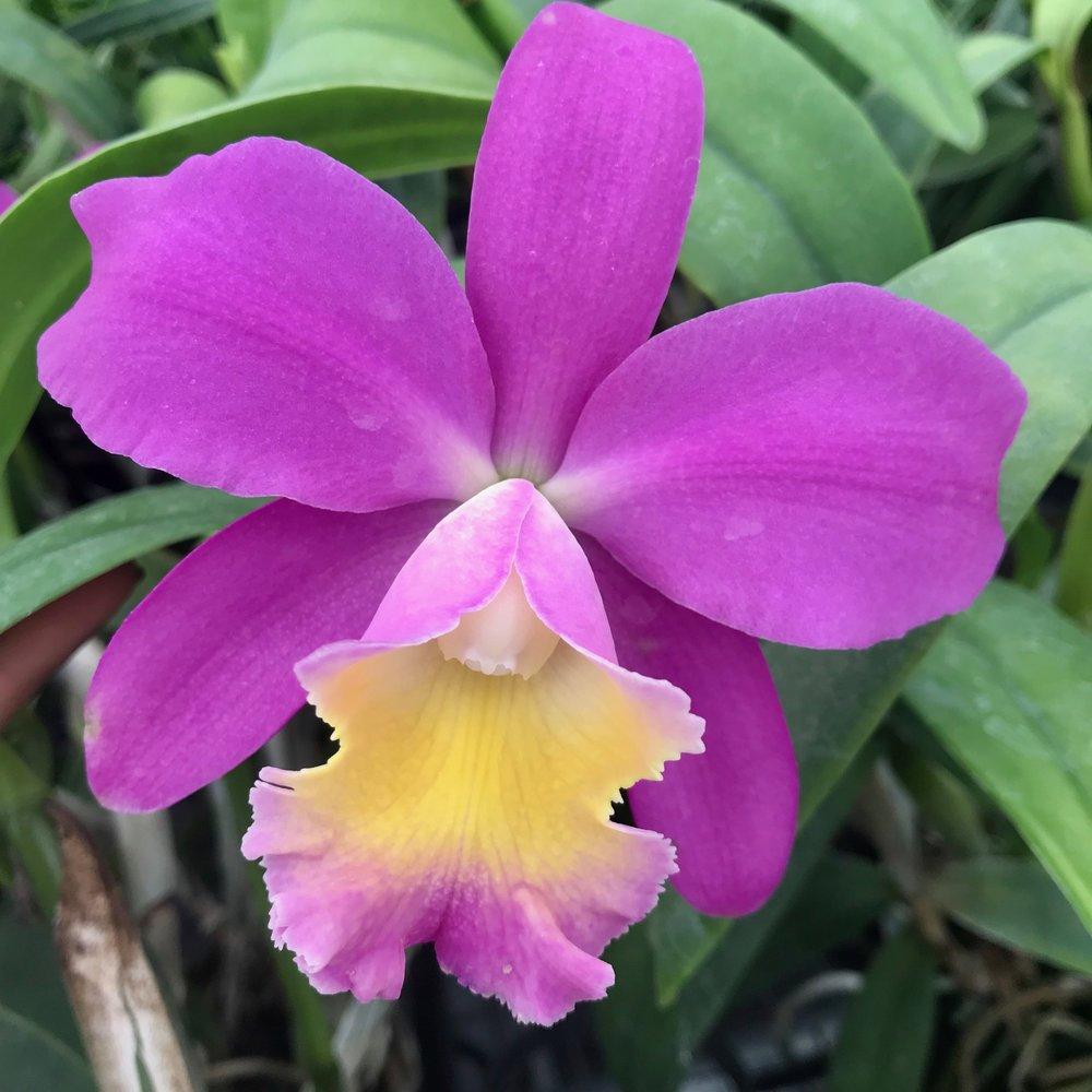 Rlc. Sweet Emma Lani 'Volcano Queen' Cattleya Palmer Orchids