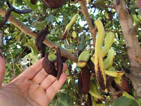 Carob pods on the tree.