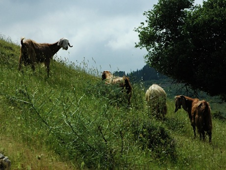 Galilean goats browsing on the site of Yodfat (Jotapata).