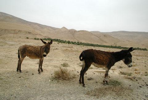 Hobbled donkeys.