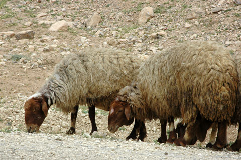 "Awassi (or ""Fat-tailed"") sheep."