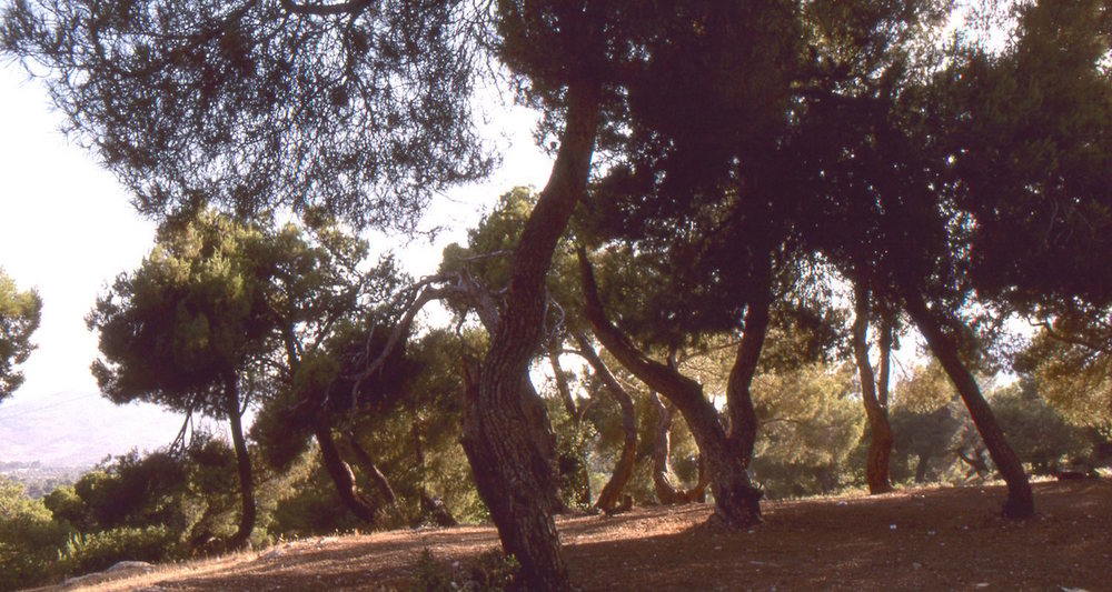 "A stand of Aleppo pines (Pinus halepensis) near Jerash, Jordan are a reminder that great forests once covered these hills. In the Bible, this is the region of ""Gilead,"" a word that may describe the ""hump"" of a camel!"