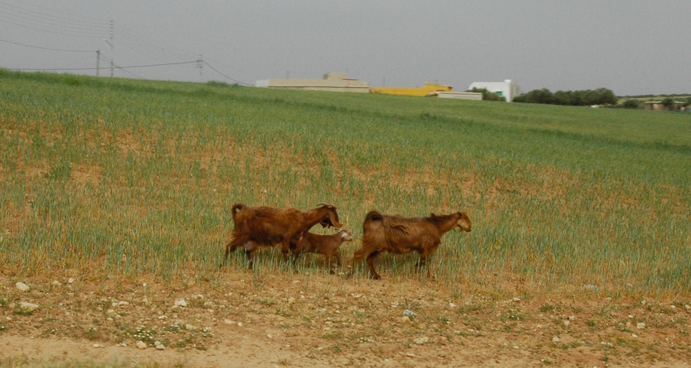 Goats on the way to a faculty meeting. Image shot out a car window near Dhiban, Jordan.