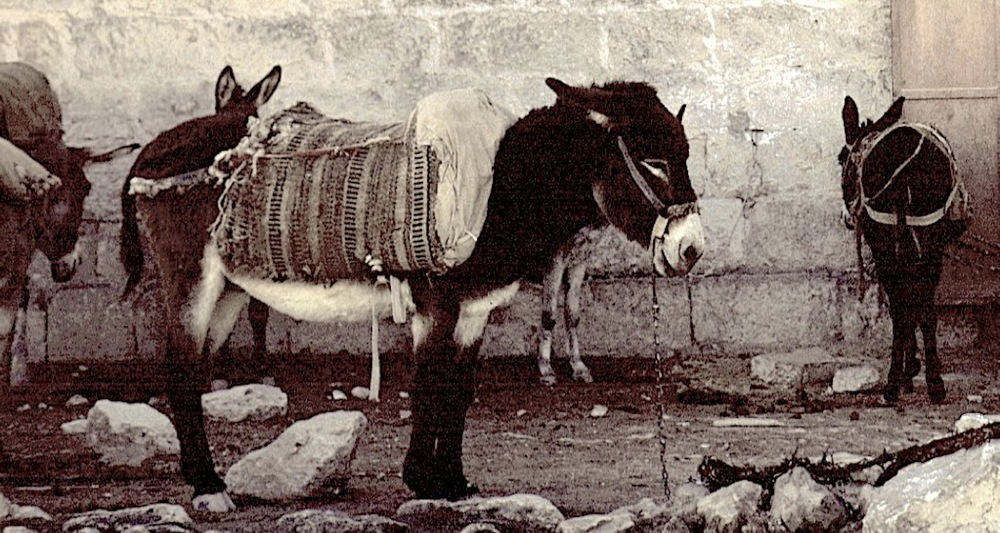 O Little Donkey of Bethlehem. Image taken many years ago as a slide transparency and donated to the Cincinnati Christian University.