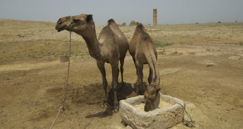 Camels of Haran.