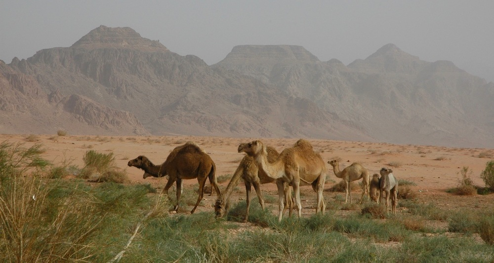 Camels in the Wadi Rum.