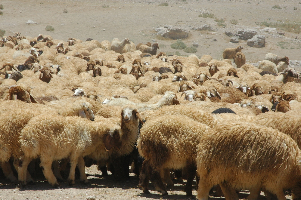 "The Awassi or ""fat tailed"" sheep have been regular residents of the Bible Lands for millennia."