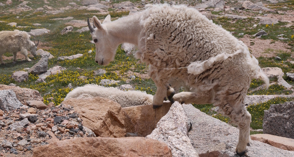 The Rocky Mountain goat sheds its second coat for comfort in the summer months.