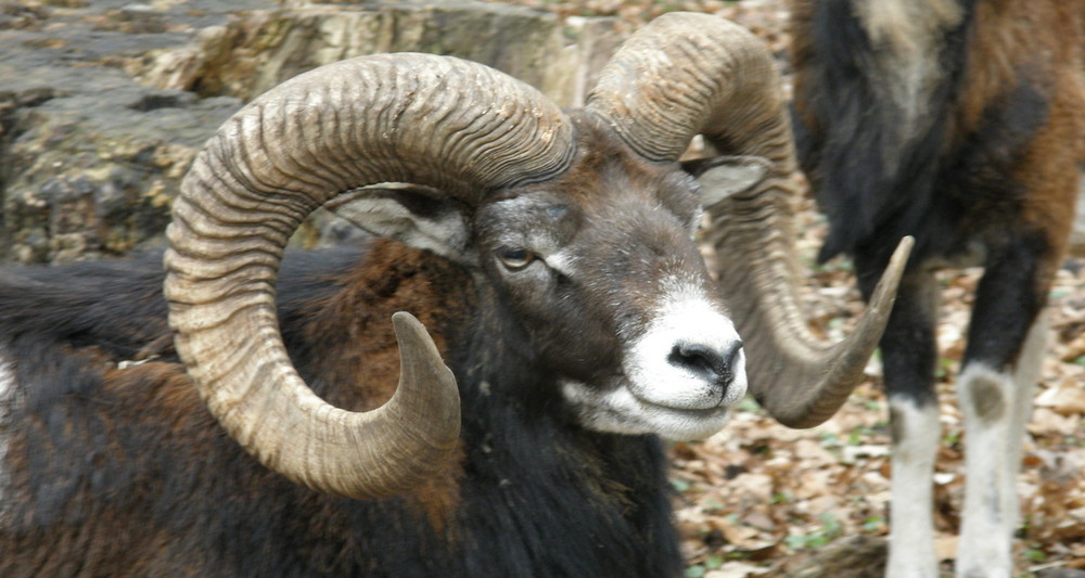 The mouflon may still be found in the Bible Lands today. Image from  here.